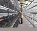 Avicultura Cuba