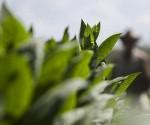 Cuba agricultura FAO